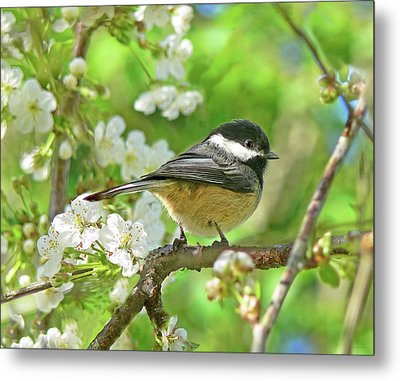 My Little Chickadee In The Cherry Tree Metal Print by Jennie Marie Schell