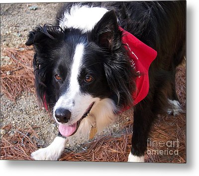 Female Border Collie Metal Print by Eunice Miller