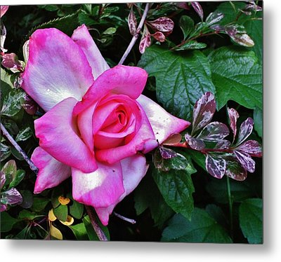 Metal Print featuring the photograph My Perfect Tea Rose by VLee Watson