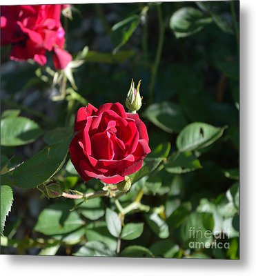 My Red Rose Metal Print by Alys Caviness-Gober