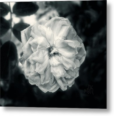 Metal Print featuring the photograph Marie-louise Rose by Louise Kumpf