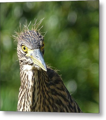 Nankeen Night Heron Junior Metal Print by Margaret Saheed