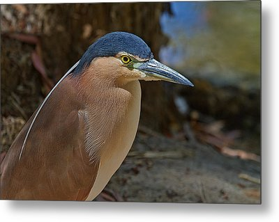 Nankeen Or Rufous Night Heron Metal Print by Mr Bennett Kent