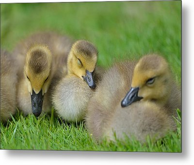 Metal Print featuring the photograph Nap Time by Kathy King