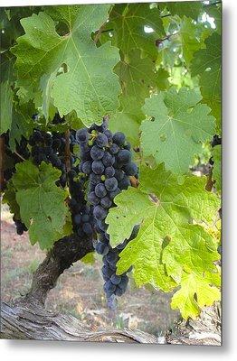 Napa Valley Vineyard Grapes Metal Print by Jennifer Lamanca Kaufman