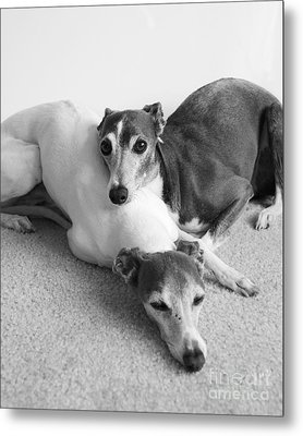 Napping Greyhounds Metal Print by Kate Sumners