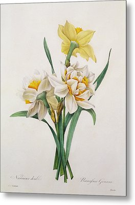 Narcissus Gouani Metal Print by Pierre Joseph Redoute