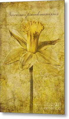 Narcissus Pseudonarcissus Metal Print by John Edwards