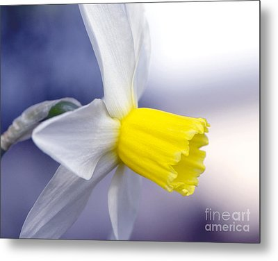 Narcissus Metal Print by Sharon Talson