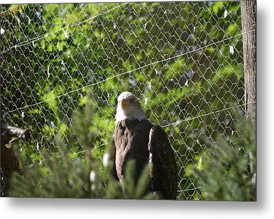 National Zoo - Bald Eagle - 12121 Metal Print by DC Photographer