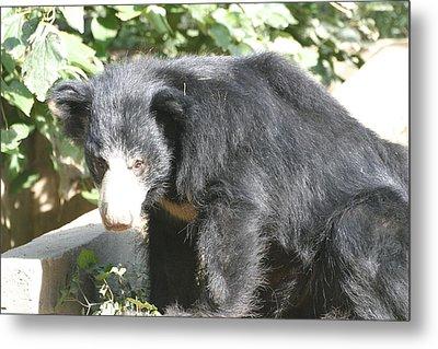 National Zoo - Bear - 12127 Metal Print by DC Photographer