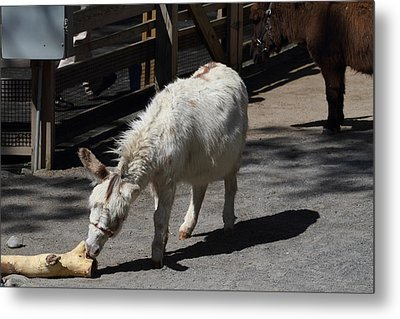 National Zoo - Donkey - 01136 Metal Print