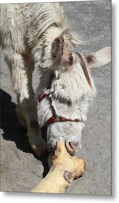 National Zoo - Donkey - 01138 Metal Print by DC Photographer
