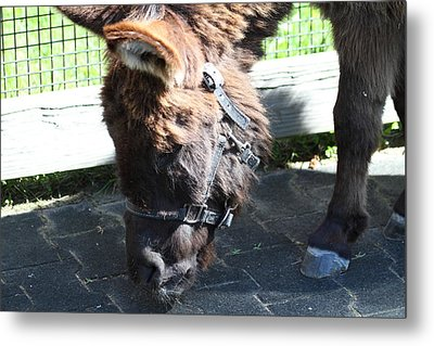 National Zoo - Donkey - 01139 Metal Print by DC Photographer