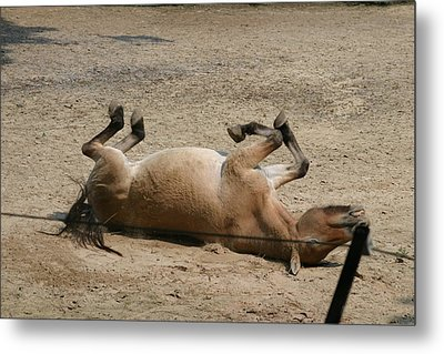 National Zoo - Donkey - 121211 Metal Print by DC Photographer