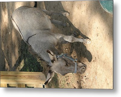 National Zoo - Donkey - 12126 Metal Print by DC Photographer