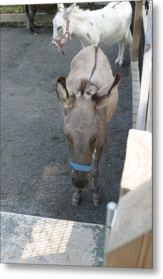 National Zoo - Donkey - 12127 Metal Print by DC Photographer