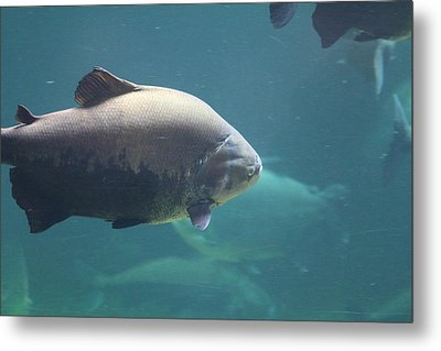 National Zoo - Fish - 011320 Metal Print by DC Photographer