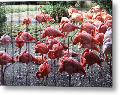 National Zoo - Flamingo - 01131 Metal Print by DC Photographer