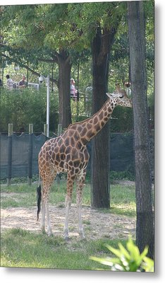 National Zoo - Giraffe - 12124 Metal Print by DC Photographer