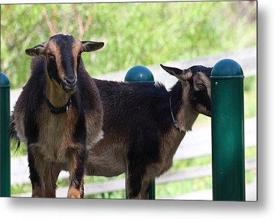 National Zoo - Goat - 01131 Metal Print