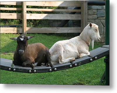 National Zoo - Goat - 12122 Metal Print by DC Photographer