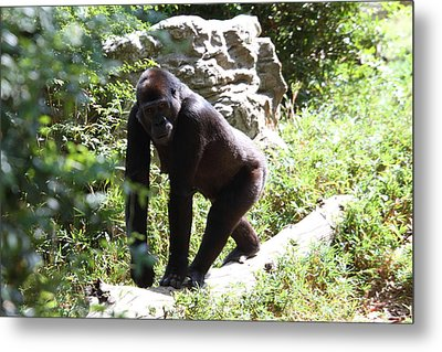 National Zoo - Gorilla - 01133 Metal Print by DC Photographer