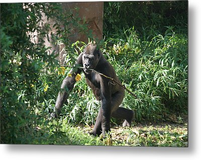 National Zoo - Gorilla - 121220 Metal Print by DC Photographer