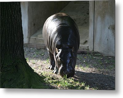 National Zoo - Hippopotamus - 12121 Metal Print by DC Photographer