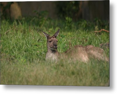 National Zoo - Kangaroo - 12125 Metal Print by DC Photographer