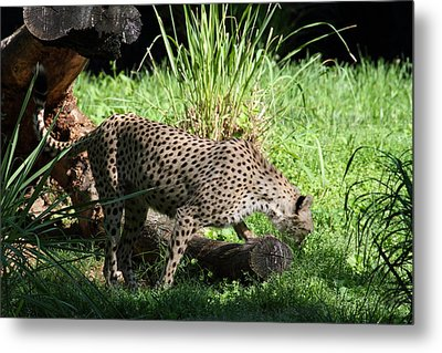 National Zoo - Leopard - 01137 Metal Print by DC Photographer