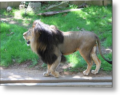 National Zoo - Lion - 01131 Metal Print by DC Photographer