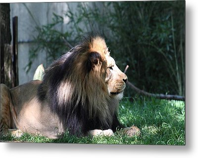 National Zoo - Lion - 011318 Metal Print by DC Photographer