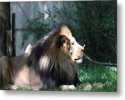 National Zoo - Lion - 011319 Metal Print