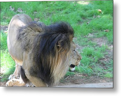 National Zoo - Lion - 01133 Metal Print by DC Photographer