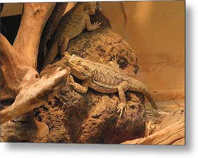 National Zoo - Lizard - 12124 Metal Print by DC Photographer