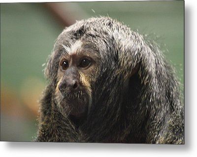 National Zoo - Mammal - 01137 Metal Print
