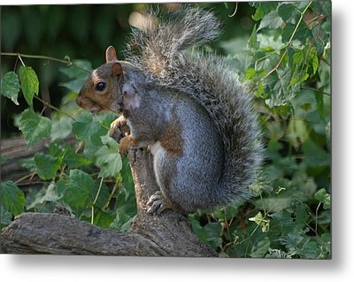 National Zoo - Mammal - 12123 Metal Print by DC Photographer