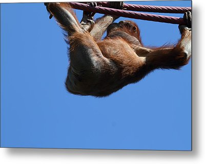 National Zoo - Orangutan - 011312 Metal Print
