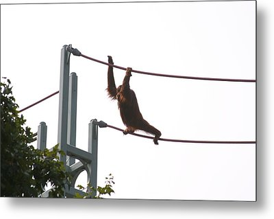 National Zoo - Orangutan - 12125 Metal Print
