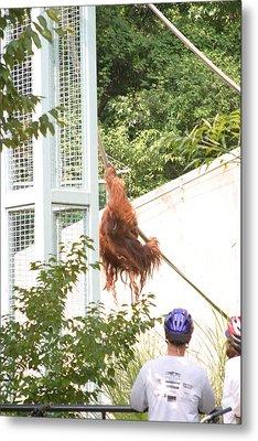 National Zoo - Orangutan - 12127 Metal Print by DC Photographer