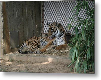 National Zoo - Tiger - 12122 Metal Print by DC Photographer