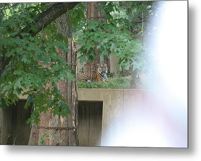 National Zoo - Tiger - 12129 Metal Print by DC Photographer