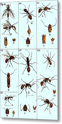 Natural History Of Ants, 1802 Metal Print