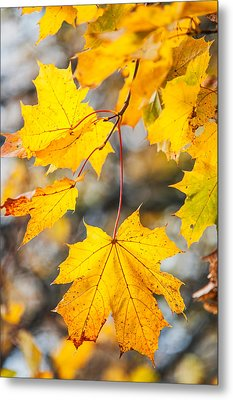 Natural Patchwork. Golden Mable Leaves Metal Print by Jenny Rainbow