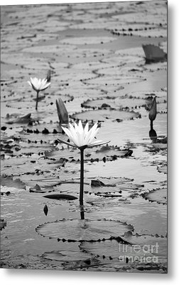 Natural Water Lily Flowers And Pads Found On The East Side Of Cozumel Mexico Black And White Metal Print by Shawn O'Brien