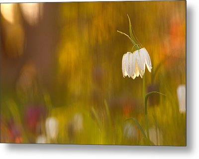 Natures Painting - Snakes Head Fritillaries Metal Print