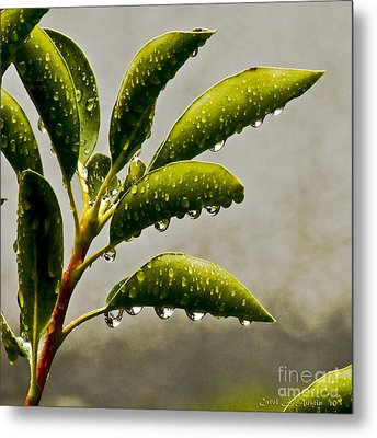 Natures Teardrops Metal Print by Carol F Austin
