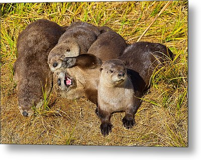 Metal Print featuring the photograph Naughty Otters by Aaron Whittemore