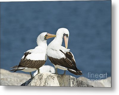 Nazca Boobies Preening Metal Print by William H. Mullins